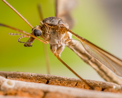 What's Buggin' You? (johnsg8) Tags: nikond500 nikon d500 bug insect fly mosquito macro nikon60mmf28d nature