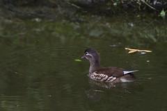 Female Mandarin Duck (scv1_2001) Tags: nikon nikon70200mmvrii nikond750 taipeizoo bird animal 台北市立動物園