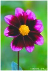 Dahlia (Aurora Santiago Photography) Tags: dahlia purple nikon1v3