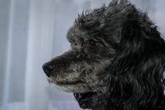 DSC_1499 (Asado De Cordero) Tags: dog pet pets dogs animal animals nikon perro poodle perros animales mascota mascotas pola d3100