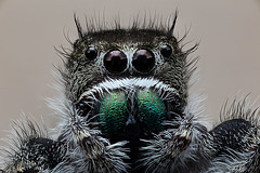Lord of Light, Phidippus addax, Jumping Spider, Haddam CT (Macroscopic Solutions) Tags: blue white snow macro art zeiss photography spider interesting jumping spiders good evil naturalhistory stereo micro physics solutions macros ph macropod microscopic microscope jumpingspider stereoscope arthropod viral macrophotography macrography dissectingscope photomicrography macroscopic phymata phasmida phymatinae photomacrography photostacking dissecting zerene zerenestacker macroscopicsolutions zerenestackerzerene steresoscope wwwmacroscopicsolutionscom