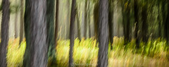 Woodland Dancing (Aaron Springer) Tags: morning trees forest woodland morninglight michigan fantasy icm northernmichigan intentionalcameramovement