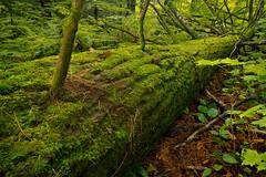 Cycle Of Life (Steve Schlosser) Tags: trees green moss logs fallen forests ontariolandscape vivianforest
