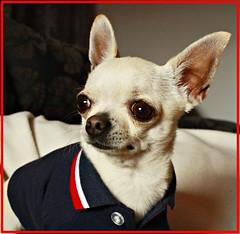 """Canijo"" (alberto-ozzy) Tags: dog chihuahua puppy perro cachorro animales mascota chihuahueo"