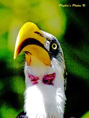 _DSC0037 Magenta Throat (veitcat) Tags: nature beautiful wildlife beautifulbird magentabowtieonthroat
