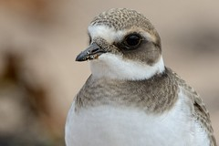 Closer Than Close. (stonefaction) Tags: nature birds scotland angus wildlife plover ringed westhaven carnoustie explored