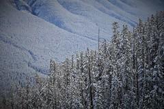 La fort enneige (Canada) (Chob59) Tags: snow canada forest rockymountain banff canadianrockies