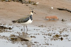 Eyeing Up A Meal? (stonefaction) Tags: nature birds animals scotland fife wildlife estuary lapwing eden stoat redshank guardbridge