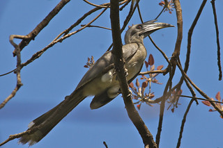 Indian Grey Hornbill, Satpura Tiger Reserve, India