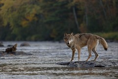 Gray Wolf (Daniel Behm Photography) Tags: color fall water minnesota river mammal wolf fallcolors gray kettle behm danielbehm