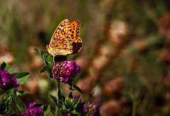 Passion Butterfly (http://fineartamerica.com/profiles/robert-bales.ht) Tags: summer orange brown white black beautiful animal animals yellow lady butterfly bug insect spectacular flying photo bright vibrant wildlife awesome fineart wing moth surreal peaceful idaho lepidoptera american nectar sensational colourful inspirational spiritual clover sublime fritillaries magical antenna magnificent inspiring haybales nymphalidae whitebar argynninae lakecascade lepidopteran canonshooter butterflyphotography passionbutterfly robertbales americaphotography butterflyormonth