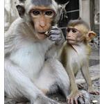 Portrait de singes thumbnail