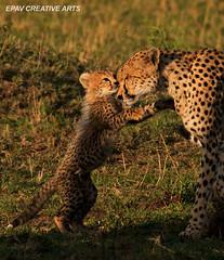 I Love You Mom! (WhiteEye2) Tags: africa cute nature kenya wildlife mother cheetah masaimara cheetahcub babyanimals