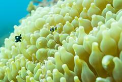 DSC_9493.jpg (d3_plus) Tags: sea sky fish beach japan scenery diving snorkeling 日本 shizuoka 海 空 j1 風景 izu anemonefish seaanemone 魚 景色 静岡 伊豆 skindiving クマノミ clarksanemonefish イソギンチャク minamiizu ミツボシクロスズメダイ シュノーケリング 静岡県 素潜り 南伊豆 nikon1 hirizo 中木 ヒリゾ浜 nakagi nikon1j1 1nikkor185mmf18 スキンダイビング beachhirizo misakafishingport 三坂漁港 anemonefishyg clarksanemonefishyg クマノミyg threespotdascllus threespotdascllusyg ミツボシクロスズメダイyg