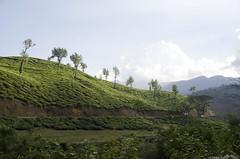 D7K_6528_ep (Eric.Parker) Tags: india workers tea kerala plantation wayanad 2012 teapickers aranyakam