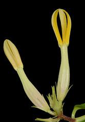 ceropegia odorata (sushantmore94@gmail.com) Tags: india flower very more maharashtra climber habitat rare arid sushant ceropegia tuberous karjat odorata nimmo apcynaceae critcally endangouered