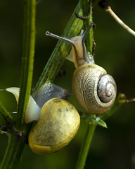 2 slakken,gezellig bij elkaar (marja N.) Tags: nederland zuidholland papendrecht educatievetuin