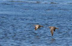 Curlews - flying low by the shore (Natimages) Tags: summer fall water flying pentax birding shore québec migration k5 bif stlawrenceriver shorebird notredamedesneiges da3004