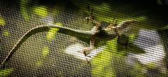 Screen shot (raylincoln1) Tags: sony screen lizard chameleon a65