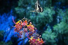 Butterfly wonderland landing (lancenesbitt) Tags: pink blue trees red arizona sky green nature colors phoenix yellow yard canon butterfly outside rebel inflight wings bush desert bright air flight vivid brush fresh wonderland t3i infight