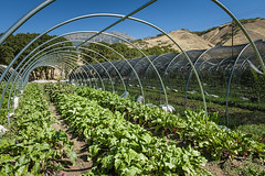 Rows of Beets (Anne Stephenson) Tags: red green earth farm tunnel soil dirt rows beets growing agriculture provo wireframe agricultural utahcounty lanayferme