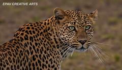 The beautiful elusive leopard! (WhiteEye2) Tags: africa kenya wildlife leopard bigcats masaimara maranorthconservancy
