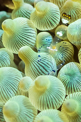 DSC_7051-2.jpg (d3_plus) Tags: sea sky fish beach japan scenery diving snorkeling 日本 shizuoka 海 空 j1 風景 izu seaanemone 魚 景色 静岡 伊豆 skindiving イソギンチャク minamiizu シュノーケリング 静岡県 素潜り anemoneshrimp 南伊豆 nikon1 hirizo 中木 ヒリゾ浜 nakagi イソギンチャクカクレエビ nikon1j1 1nikkor185mmf18 スキンダイビング beachhirizo misakafishingport 三坂漁港