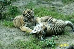 Sibirische Tiger (Geralds-Raubtiere) Tags: sibirischertiger dierenparkamersfoort flickrbigcats