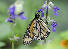 DSC_14745 (Don Weiss) Tags: butterfly monarch tamron90mm nikond5100