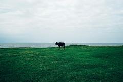 Cow (caneruzun) Tags: green nature grass turkey landscape cow cows sony turkiye a7 2470mm ordu ilce7
