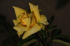 autumn rose (ranchodon) Tags: flower rose yellow canon