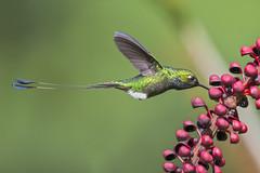 Ocreatus underwoodii - Booted Racket-tail - Colibrí de Raquetas - Cola de Raqueta Pierniblanco 38 (jjarango) Tags: birding aves birdwatching avesdecolombia birdsofcolombia birdingcolombia