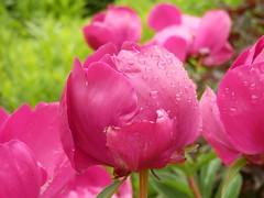 Paeonien auf der Insel Mainau im Bodensee (fotoculus) Tags: flowers flores fleur germany deutschland flora blossoms blumen bodensee mainau blüten paeonia pfingstrosen inselmainau