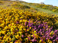 P1010321 (jrcollman) Tags: plants places devon dartmoor haytor ulexgallii eplant ericacinerea haytortohoundtor