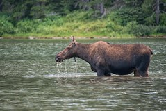 Soaked (RkyMtnGrl) Tags: lake mountains nikon montana wildlife moose glaciernationalpark 2014 gnp cowmoose manyglacier specanimal fishercaplake damniwishidtakenthat fantasticwildlife dailynaturetnc14 photoofthedaynwf14