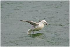 Noordse stormvogel (pietplaat) Tags: scheveningen vogels eerstebinnenhaven noordsestormvogel pietplaat