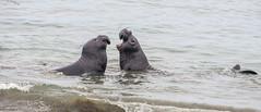 Male elephant seal dispute (Snap Man) Tags: california centralcoast sanluisobispocounty byrobin miroungaangustirostris piedrasblancaselephantsealrookery northernelephantseal nikond90 piedrasblancasstatemarinereserve