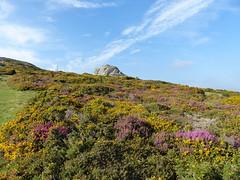 P1010323 (jrcollman) Tags: plants places devon dartmoor haytor callunavulgaris ulexgallii eplant ericacinerea cplant haytortohoundtor