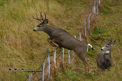 Mule Deer DSC_7514 (Ron Kube Photography) Tags: canada nature animal fauna mammal nikon deer alberta muledeer mule odocoileushemionus southernalberta d7100 ronaldok nikond7100 ronkubephotography