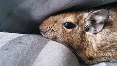 Steady (La P'tite Noisette) Tags: pet animal degu deg octodon