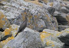 Skarv, Rst (Terje Solbakk) Tags: sea bird norway norge norwegen cormorant fugl lofoten hav noreg