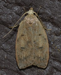 # 0951 – Machimia tentoriferella – Gold-striped Leaftier Moth (Wildreturn) Tags: usa insect moth stlouis insects troy mo lepidoptera missouri insecta fieldguide mmfg cuivreriverstatepark mothsofmissouri mothsofmissourifieldguide