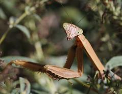 A Large Female Praying Mantis (rivadock4) Tags: fall bug mantis praying explore prayingmantis