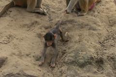 Struggling baboon child (-JvL-) Tags: monkey nederland aap safaripark beeksebergen noordbrabant hamadryasbaboon apen hilvarenbeek mantelbaviaan