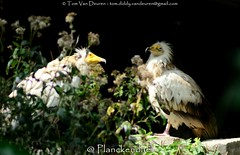Aasgier - Neophron percnopterus - Egyptian Vulture (MrTDiddy) Tags: bird egyptian vulture mechelen planckendael birdofprey vogel scavenger aas geier neophron percnopterus gier roofvogel aasgier egyptische aaseter dierenparkplanckendael