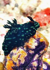 Nembrotha cristata (nudibranch/sea slug) (gillybooze (David)) Tags: sea coral malaysia nudibranch sponge mabul ©allrightsreserved madaleundewaterimages