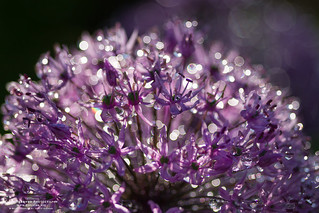 Allium after rain