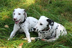 DSC_6072 (Joachim S. Müller) Tags: dog animal germany puppy mammal deutschland hessen hund darmstadt dalmatian tier bürgerpark welpen dalmatiner säugetier далматин