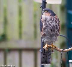 Male Sparrowhawk at the feeders (Danny Gibson) Tags: bird nature birds garden hawk wildlife feeder raptor birdwatching raptors birdsofprey birdofprey bop sparrowhawk birdwatcher birdfeeders accipiternisus malesparrowhawk dgpixorguk