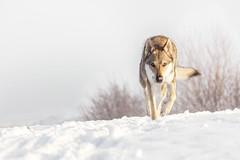 Coming closer (Filidea) Tags: dog czechoslovakianwolfdog pets snow moving winter germany nikond7100 nikkor tschechoslowakischerwolfshund schnee hund white